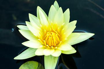 yellow lotus in chiangmai Thailand