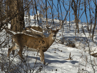 Large Whitetailed Deer