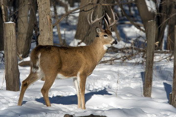 Whitetail Buck in the winter