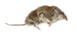 Dead Greater white-toothed shrew, Crocidura russula, isolated