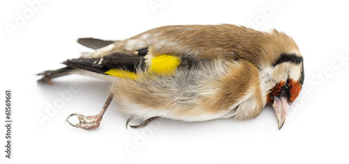 Side view of a dead European Goldfinch, Carduelis carduelis