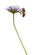 Obrazy na płótnie, fototapety, zdjęcia, fotoobrazy drukowane : Side view of a  European honey bee landed on a flowering plant