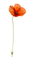 Poppy, isolated on white
