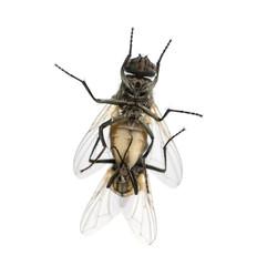 View from below of two House flies copulating, Muscidae