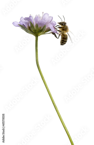 Side view of a European honey bee landed on a flowering plant