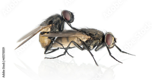 Side view of two House flies copulating, Muscidae, isolated