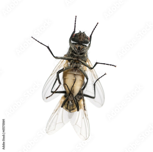 View from below of two House flies copulating, Muscidae