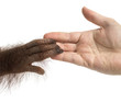 canvas print picture Close-up of young Bornean orangutan's hand holding a human hand