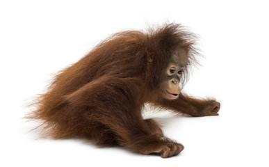 Young Bornean orangutan sitting down, Pongo pygmaeus