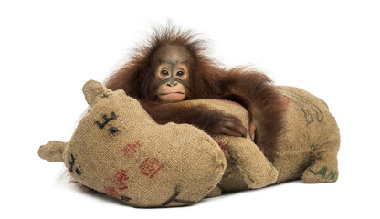 Young Bornean orangutan hugging its burlap stuffed toy