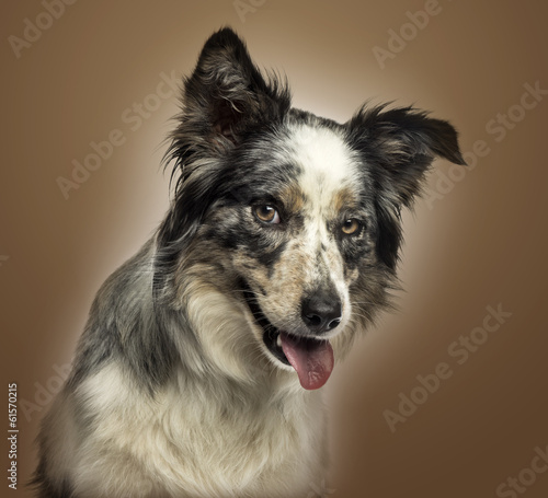 Close-up of a Border collie panting, with provocative look