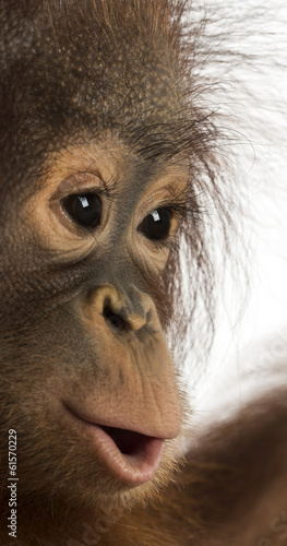 Close-up of a young Bornean orangutan's profile, Pongo pygmaeus