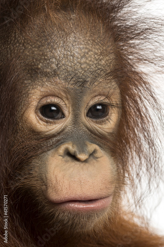 Close-up of a young Bornean orangutan, looking at the camera