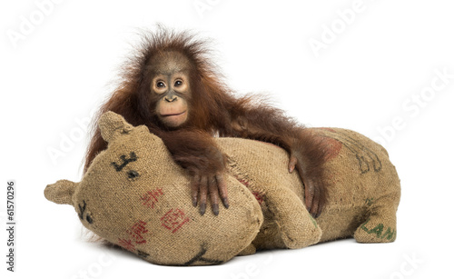 canvas print picture Young Bornean orangutan hugging its burlap stuffed toy