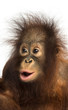 Close-up of a young Bornean orangutan looking amazed