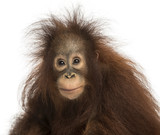 Young Bornean orangutan looking at the camera, Pongo pygmaeus