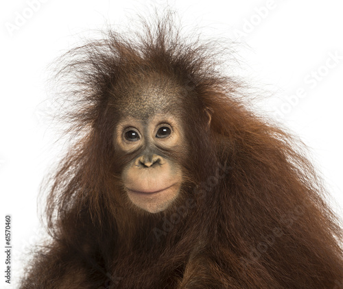 canvas print picture Young Bornean orangutan looking at the camera, Pongo pygmaeus