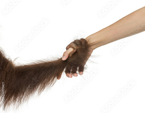 canvas print picture Close-up of a young Bornean orangutan's hand holding human hand