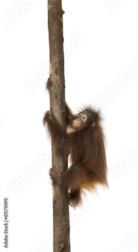 canvas print picture Side view of a young Bornean orangutan climbing on a tree trunk