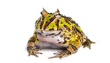 Argentine Horned Frog, Ceratophrys ornata, isolated on white poster