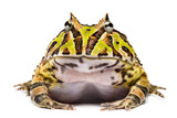 Front view of an Argentine Horned Frog, Ceratophrys ornata poster