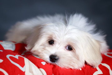White Puppy Maltese dog