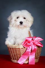 White Puppy Maltese dog