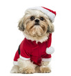 Shih Tzu wearing a christmas disguise, sitting, 10 months old