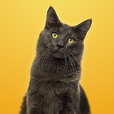 Close-up of a Maine Coon facing on a yellow background