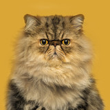 Front view of grumpy Persian cat sitting, looking at the camera