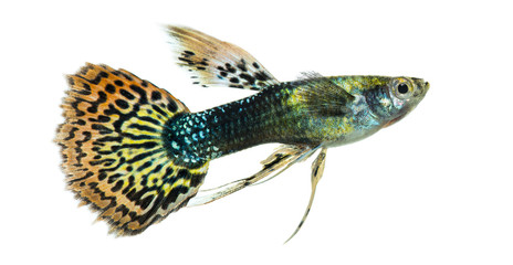 Side view of a Guppy swimming, Poecilia reticulata, isolated