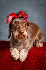 wire-haired dachshund dog