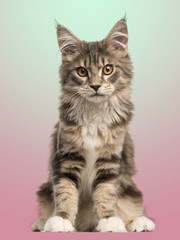 Front view of a Maine Coon kitten sitting, on a gradient colored