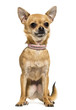 Front view of a Chihuahua wearing a pink collar, sitting