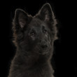 Greenland Dog puppy, 4 months old, on a black background