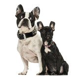 French Bulldog adult and puppy looking away, 3 months old