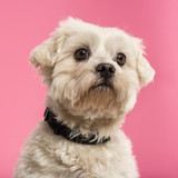 Close-up of a Maltese, 5 years old, isolated on pink background