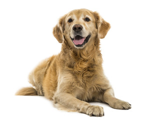 Golden Retriever lying, panting, 11  years old, isolated