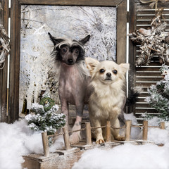 Front view of a Chinese crested dog puppy and Chihuahua standing