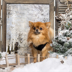 Dressed- up Chihuahua standing on a bridge, in a winter scenery