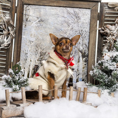 Dressed-up Chihuahua sitting on a bridge in a winter scenery