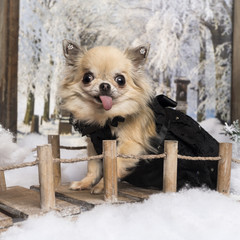 Chihuahua sticking the tongue, on a bridge in a winter scenery