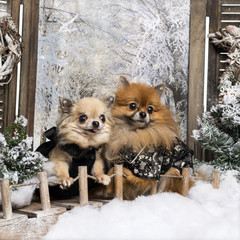 Dressed-up Spitz and Chihuahua on a bridge, in a winter scenery