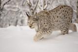 Hunting lynx