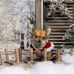 Chihuahua wearing a christmas cape in a winter scenery