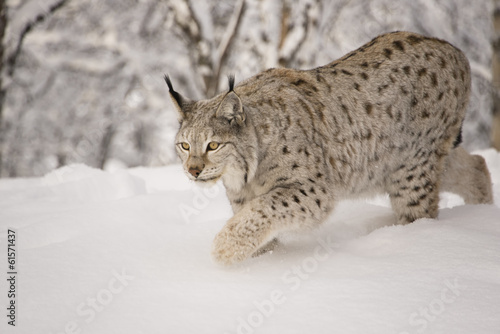 Foto op Canvas Lynx Hunting lynx