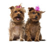 Two Yorkshire Terrier wearing bows, panting, sitting