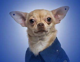 Dressed-up Chihuahua with earrings on a blue gradient background