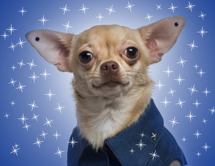 Dressed-up Chihuahua with earrings on a blue stars background