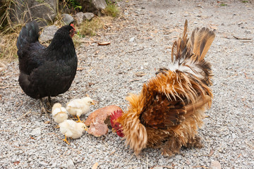 rooster with hen and chicks pecking